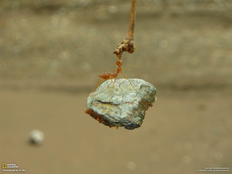 ant biting branch and holding onto lifting rock The Top 100 Pictures of the Day for 2012
