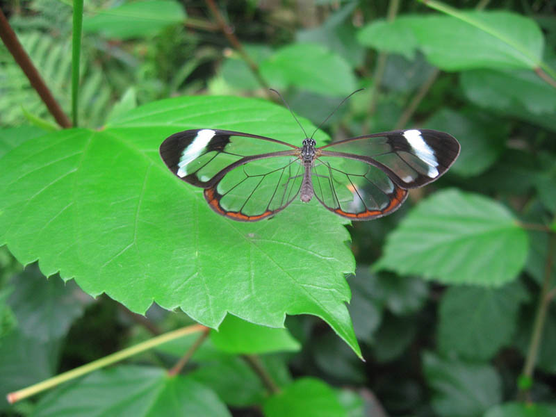 glasswing butterfly 15 Stunning Photos of the Glasswinged Butterfly
