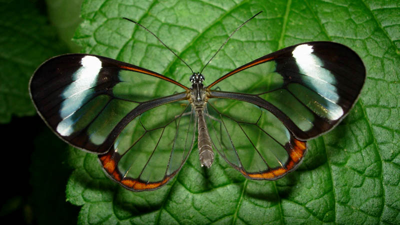 glasswinged butterfly top view 15 Stunning Photos of the Glasswinged Butterfly