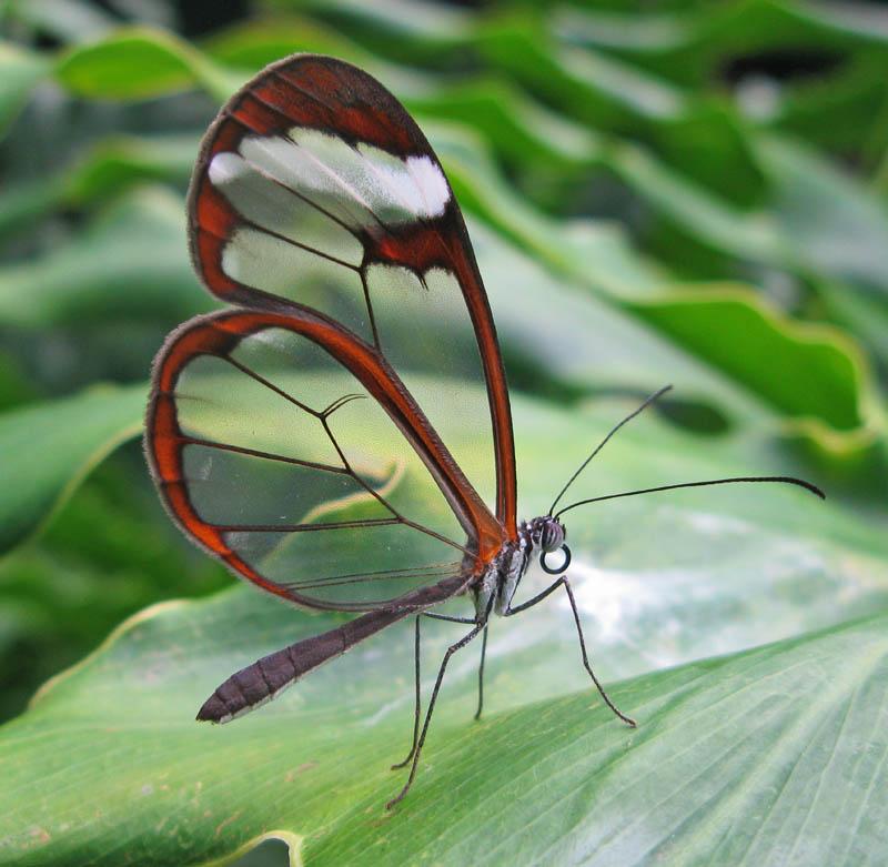 greta oto 15 Stunning Photos of the Glasswinged Butterfly