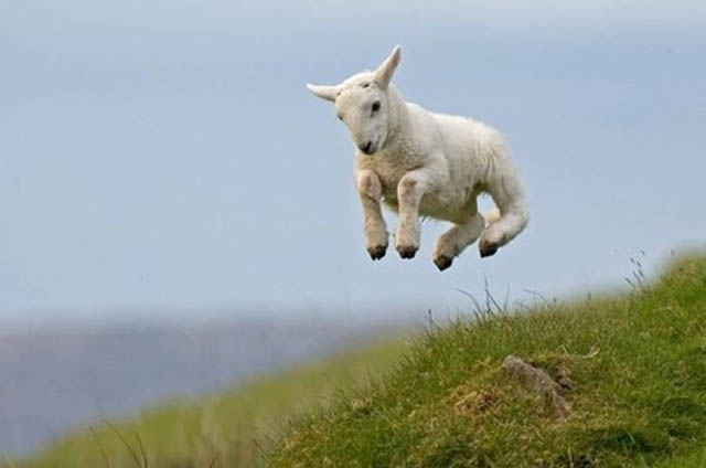 hover goat The 25 Funniest Hover Animals Ever