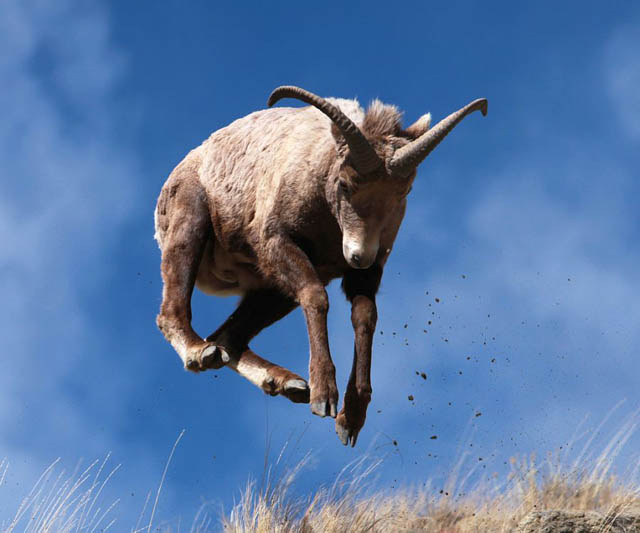 hover ram The 25 Funniest Hover Animals Ever