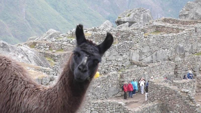 llama photobomb animals photobombing The 15 Greatest Animal Photobombs of All Time