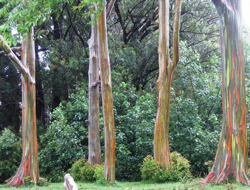 rainbow eucalpytus tree Picture of the Day: The Rainbow Eucalyptus Tree