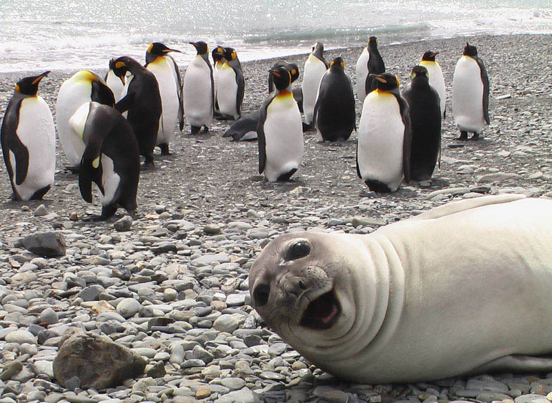 seal photobombs penguins The 15 Greatest Animal Photobombs of All Time