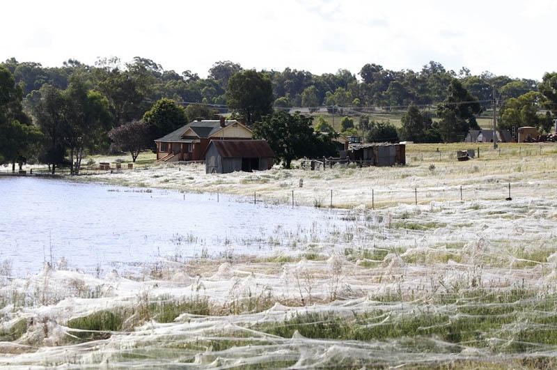 spider webs cover field queenland australia flooding 2012 1 Spiders Blanket Fields in Webs to Avoid Flood Waters in Australia