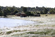 Spiders Blanket Fields in Webs to Avoid Flood-Waters in Australia