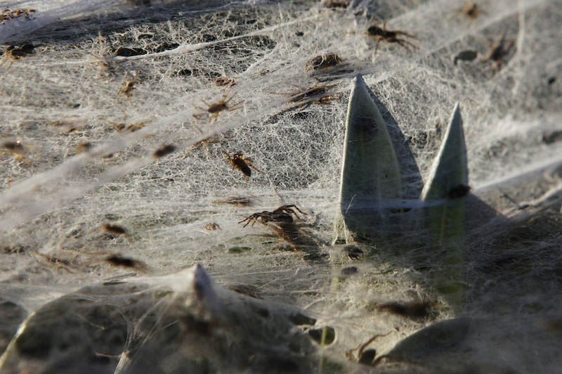 spider webs cover field queenland australia flooding 2012 3 Spiders Blanket Fields in Webs to Avoid Flood Waters in Australia