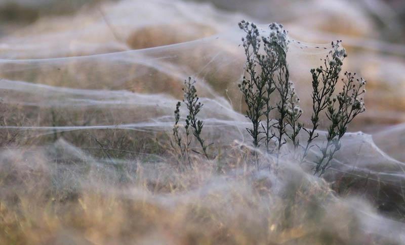 spider webs cover field queenland australia flooding 2012 4 Spiders Blanket Fields in Webs to Avoid Flood Waters in Australia