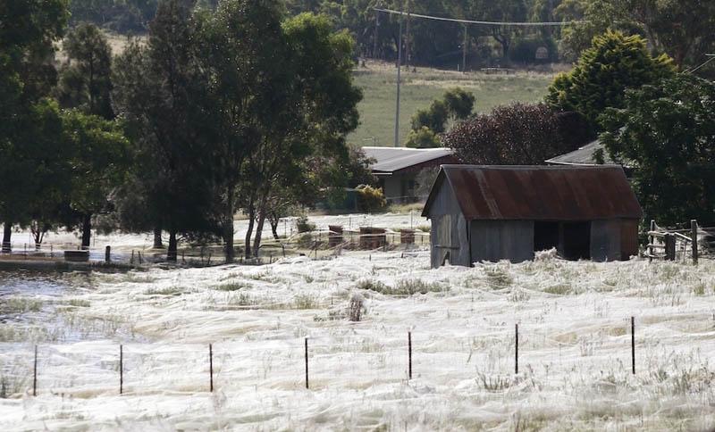 spider webs cover field queenland australia flooding 2012 5 Spiders Blanket Fields in Webs to Avoid Flood Waters in Australia