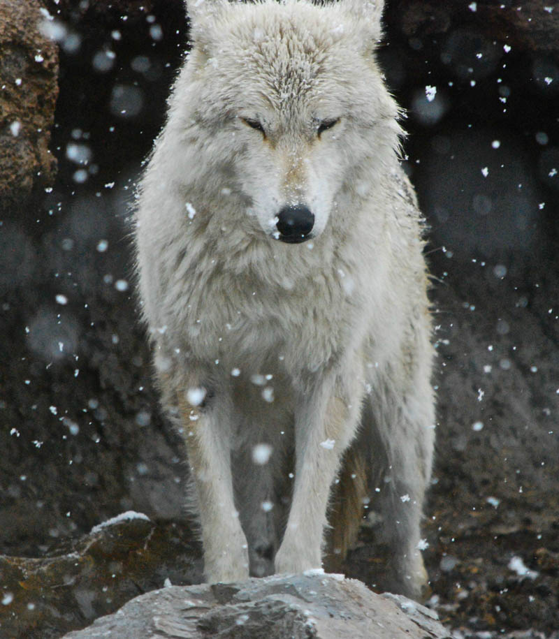 the lone wolf Picture of the Day: The Lone Wolf