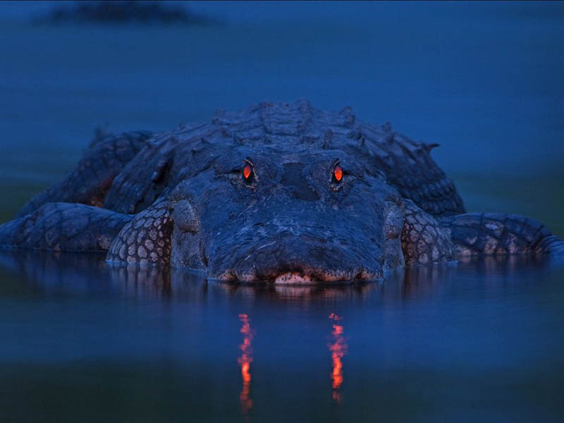 alligator at night orange eyes florida in water Picture of the Day: The King of the River
