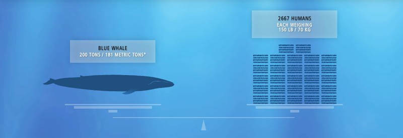 blue whale weight vs humans 15 of the Largest Animals in the World