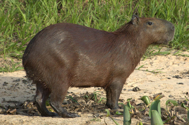 capybara 15 of the Largest Animals in the World