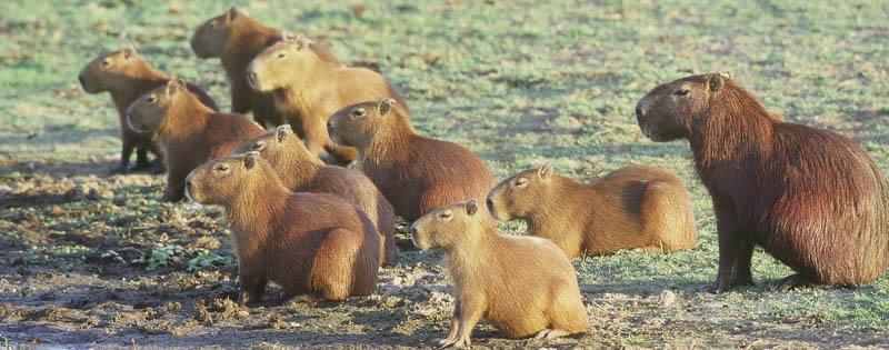 capybaras 15 of the Largest Animals in the World