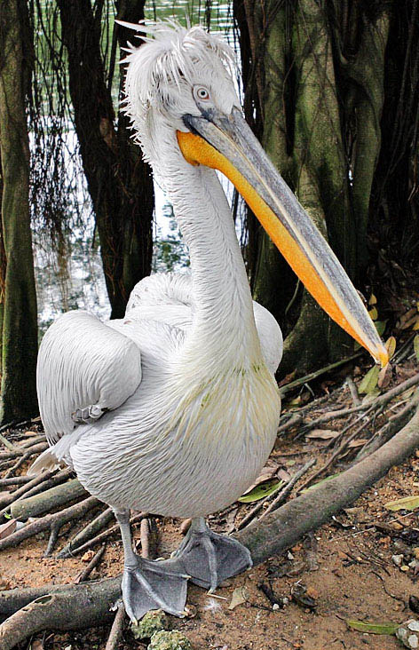 dalmation pelican 15 of the Largest Animals in the World
