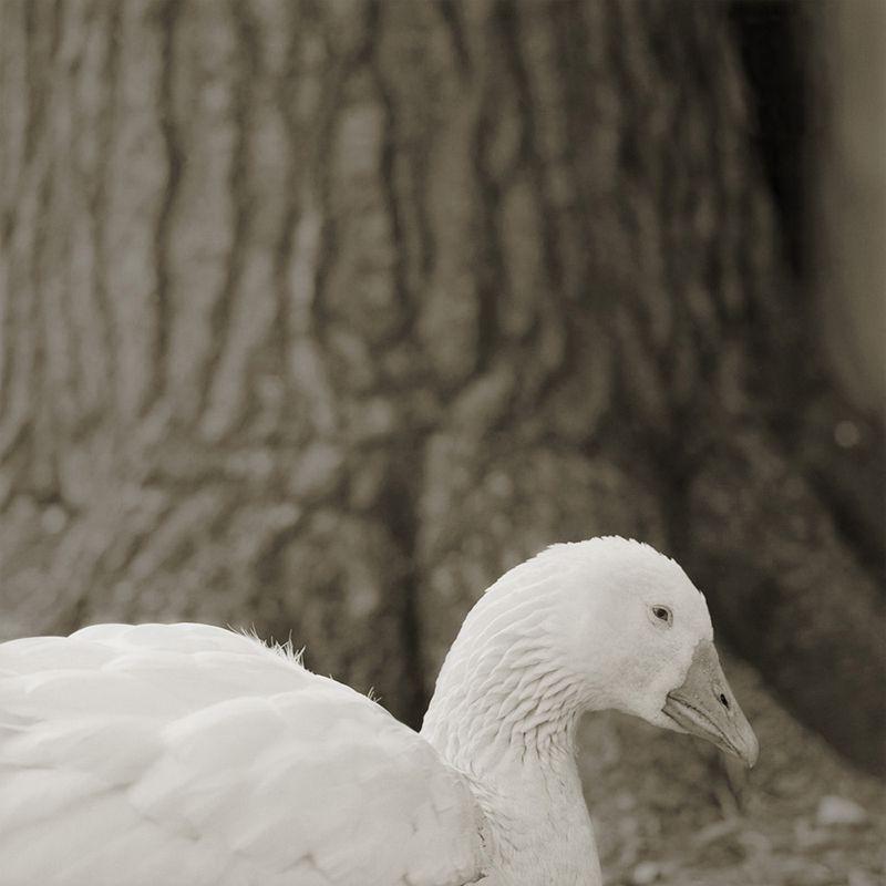 embden goose 28 elderly animals isa leshko Touching Portraits of Elderly Animals
