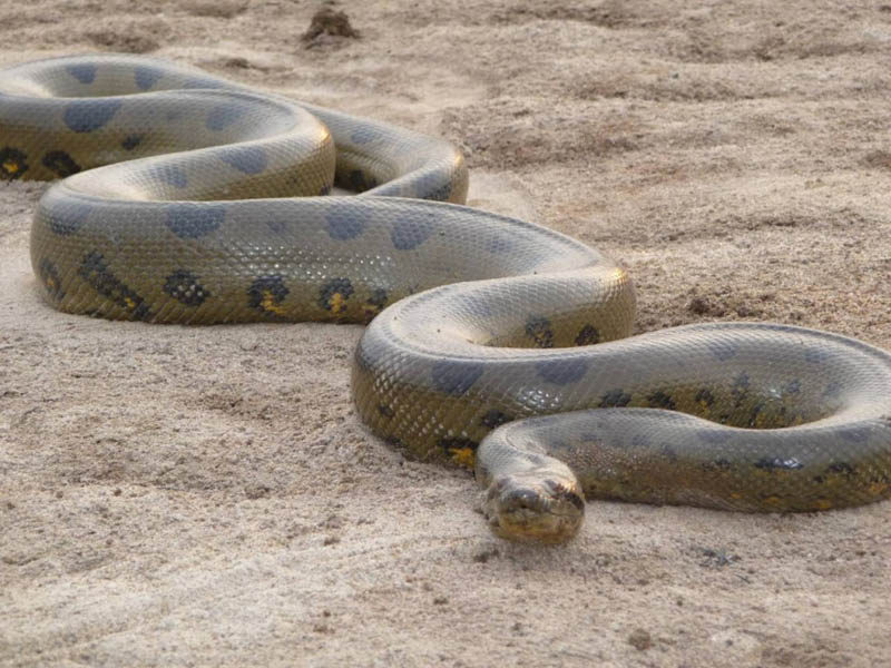 green anaconda 15 of the Largest Animals in the World