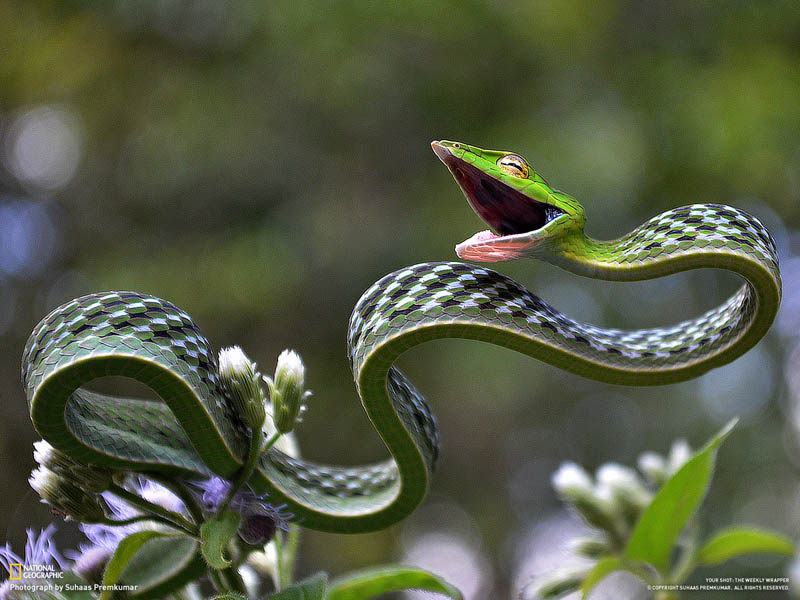 green vine snake1 The Top 100 Pictures of the Day for 2012
