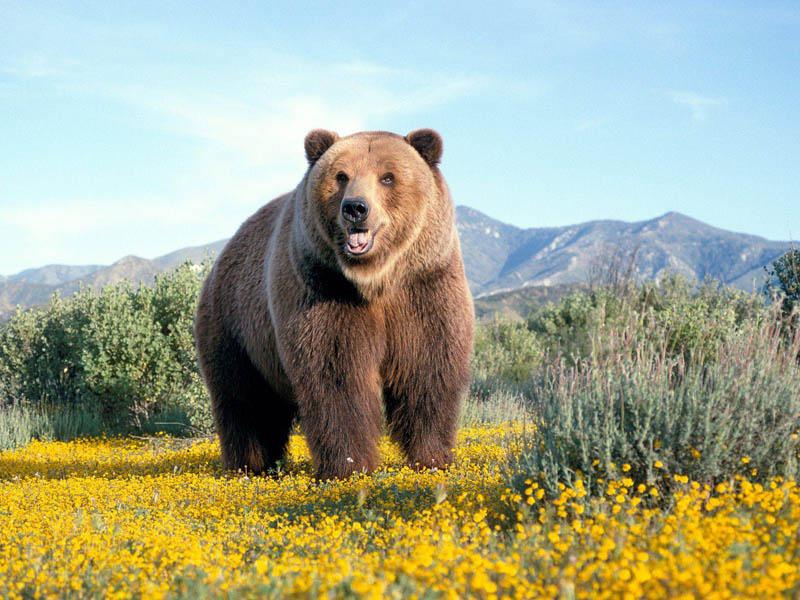 kodiak bear Giant George   The Tallest Dog in the World