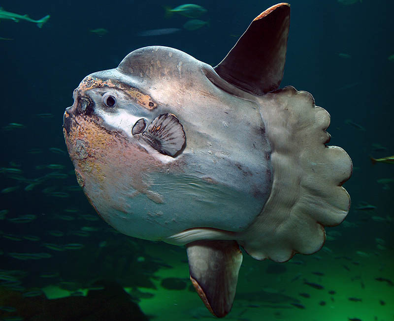 mola mola ocean sunfish 15 of the Largest Animals in the World