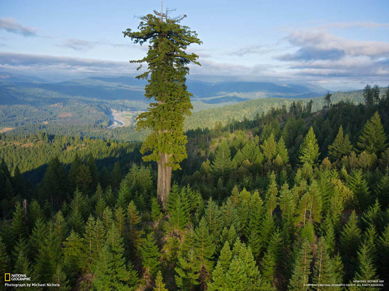 old growth redwood above younger growth redwoods above the canopy The Top 100 Pictures of the Day for 2012