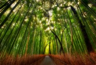 The Famous Bamboo Forest of Sagano