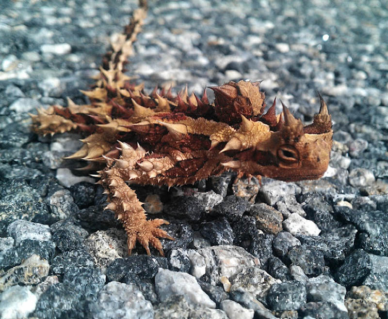 thorny devil thorny dragon mountain devil thorny lizard moloch Picture of the Day: The Thorny Devil
