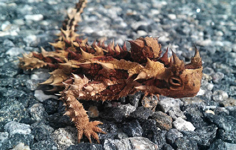 Picture of the Day: The Thorny Devil