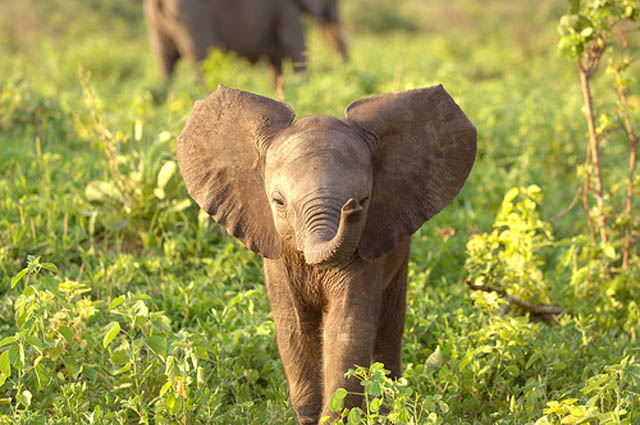 adorable baby elephant 1 The 35 Cutest Baby Elephants You Will See Today