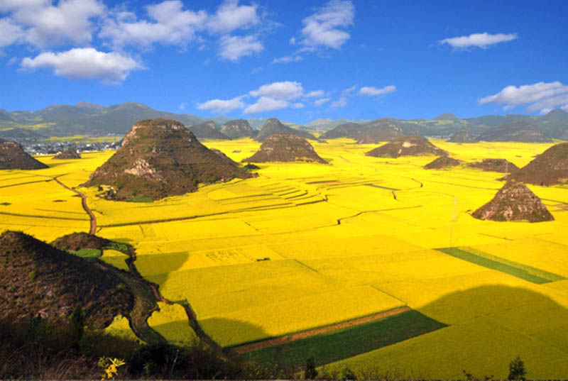 canola plants rapeseed in full bloom yellow luoping yunnan province china Picture of the Day: Canola Fields in Full Bloom