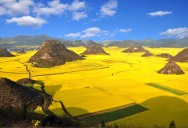 Picture of the Day: Canola Fields in Full Bloom