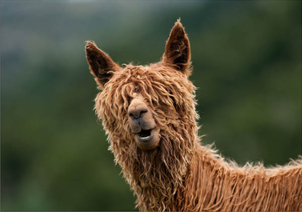 funny alpacas with awesome amazing hilarious hair 1 25 Alpacas with the Most Amazing Hair Ever