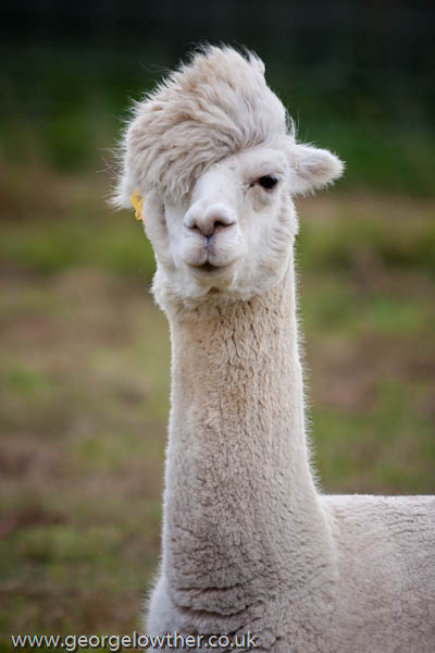 funny alpacas with awesome amazing hilarious hair 12 25 Alpacas with the Most Amazing Hair Ever
