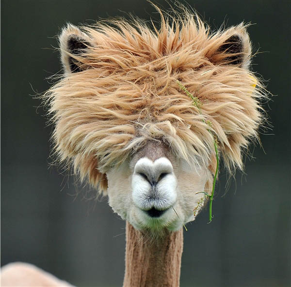funny alpacas with awesome amazing hilarious hair 15 How Therapy Llamas Bring Joy to the Sick and Elderly