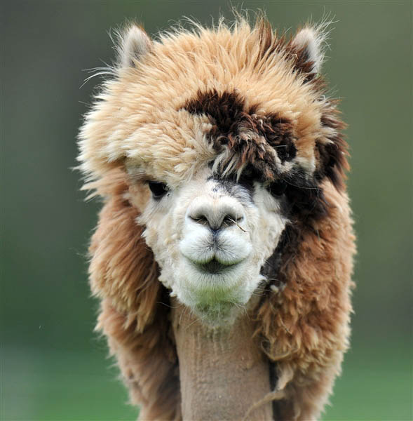 funny alpacas with awesome amazing hilarious hair 17 25 Alpacas with the Most Amazing Hair Ever