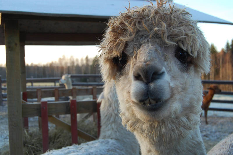 funny alpacas with awesome amazing hilarious hair 18 25 Alpacas with the Most Amazing Hair Ever
