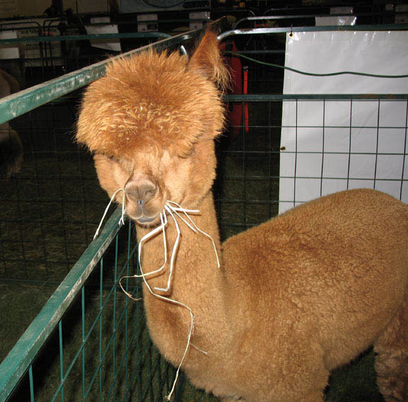 funny alpacas with awesome amazing hilarious hair 4 25 Alpacas with the Most Amazing Hair Ever