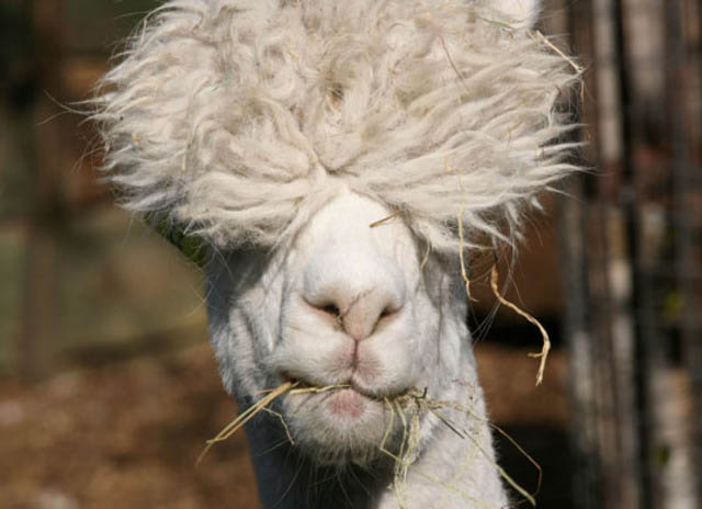 funny alpacas with awesome amazing hilarious hair 8 25 Alpacas with the Most Amazing Hair Ever