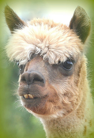funny alpacas with awesome amazing hilarious hair 9 25 Alpacas with the Most Amazing Hair Ever