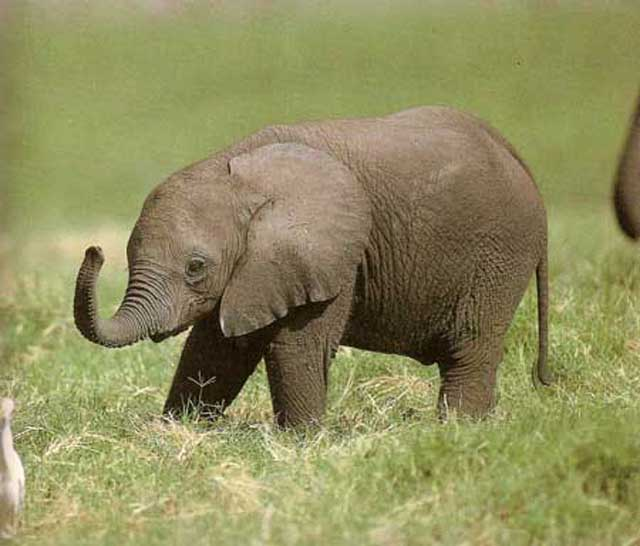 funny baby elephant 8 The 35 Cutest Baby Elephants You Will See Today