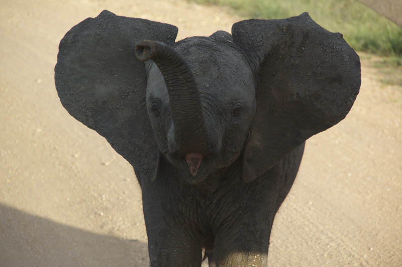 funny baby elephant 9 The 35 Cutest Baby Elephants You Will See Today