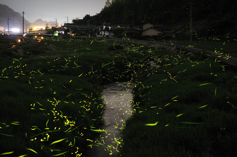 long exposure night photography gold fireflies japan 3 Beautiful Long Exposures of Fireflies at Night