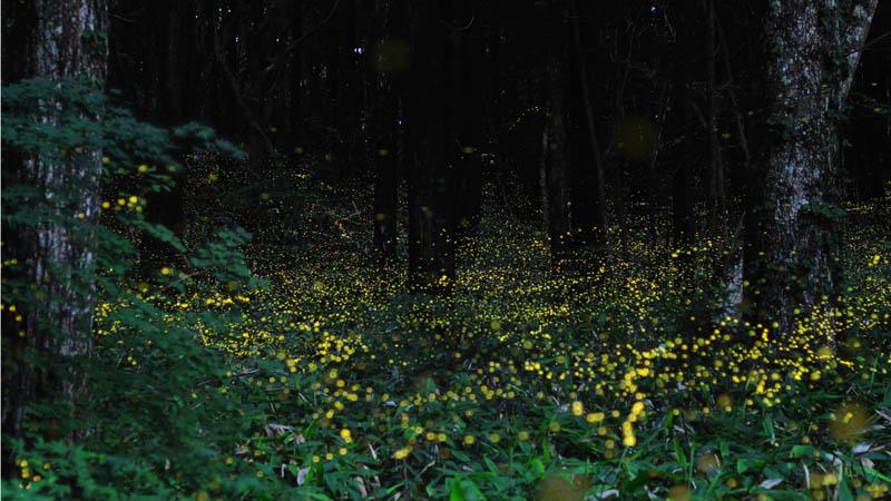 long exposure night photography gold fireflies japan 4 Beautiful Long Exposures of Fireflies at Night