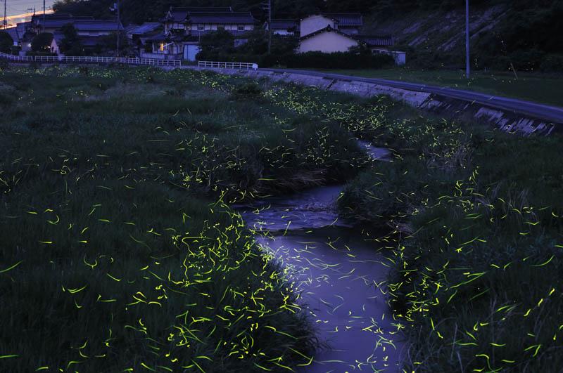 long exposure night photography gold fireflies japan 6 Beautiful Long Exposures of Fireflies at Night