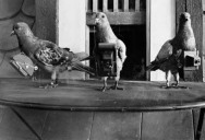 The History of Pigeon Camera Photography