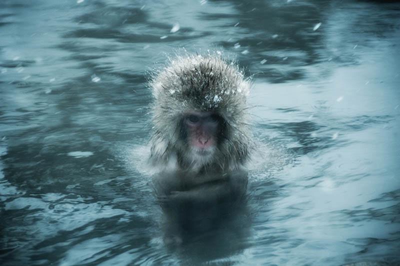 snow monkeys jigokudani hell valley wild monkey park nagano japan 10 Snow Monkeys in Hot Springs of Nagano, Japan