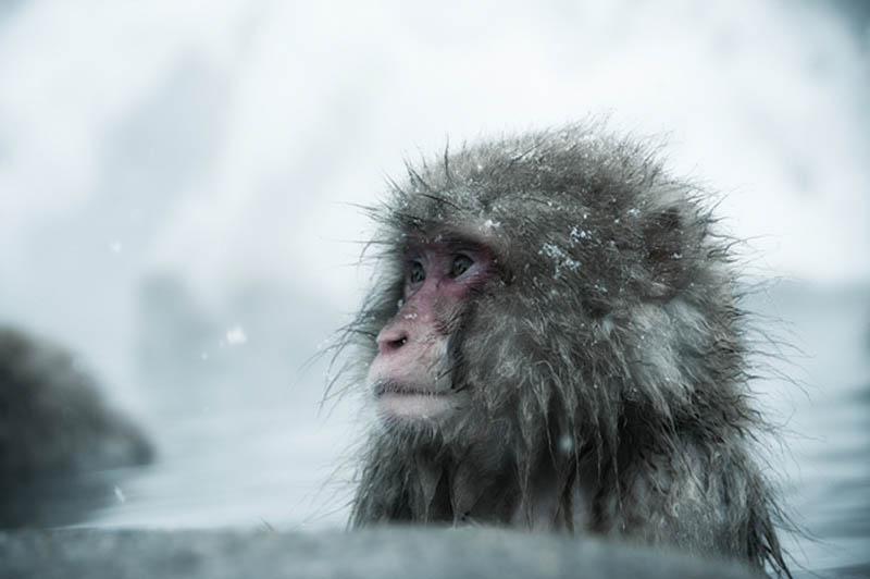 snow monkeys jigokudani hell valley wild monkey park nagano japan 11 Snow Monkeys in Hot Springs of Nagano, Japan