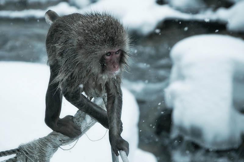 snow monkeys jigokudani hell valley wild monkey park nagano japan 12 Snow Monkeys in Hot Springs of Nagano, Japan