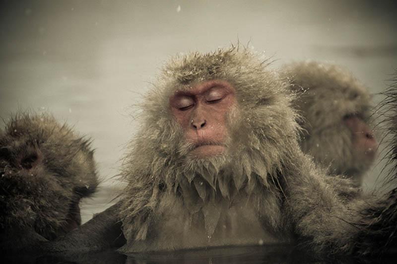 snow monkeys jigokudani hell valley wild monkey park nagano japan 5 Snow Monkeys in Hot Springs of Nagano, Japan